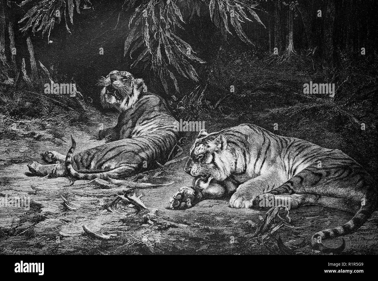 Digital migliorata la riproduzione, la tigre del Bengala è un Panthera tigris tigris popolazione nel subcontinente indiano, originale stampa da l'anno 1880 Immagini Stock