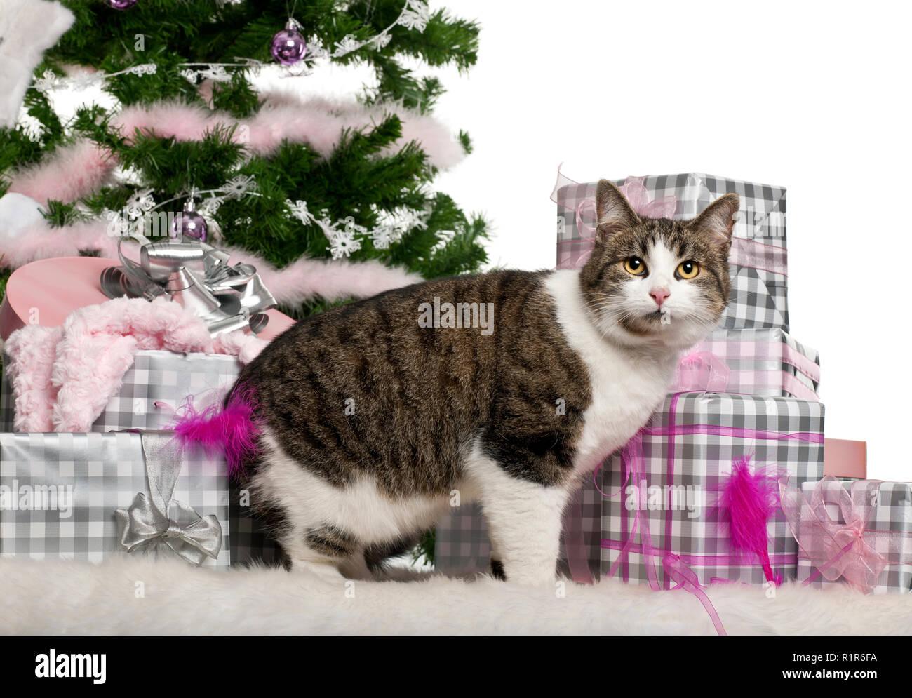 Regali Di Natale 3 Anni.European Shorthair 3 Anni Con I Regali Di Natale Di Fronte A Uno