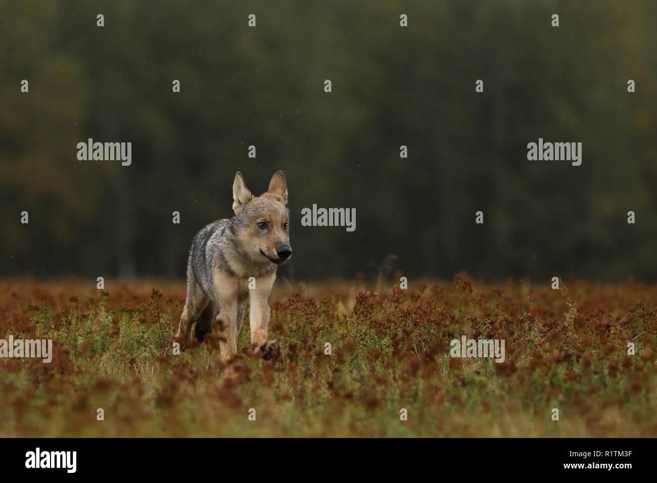 Grey wolf cub on immagini & grey wolf cub on fotos stock alamy