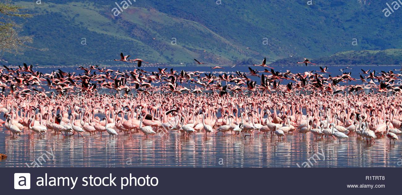 Minor fenicotteri (Phoenicopterus minori), grande numero, il lago Bogoria, Great Rift Valley, Kenya, Africa Immagini Stock