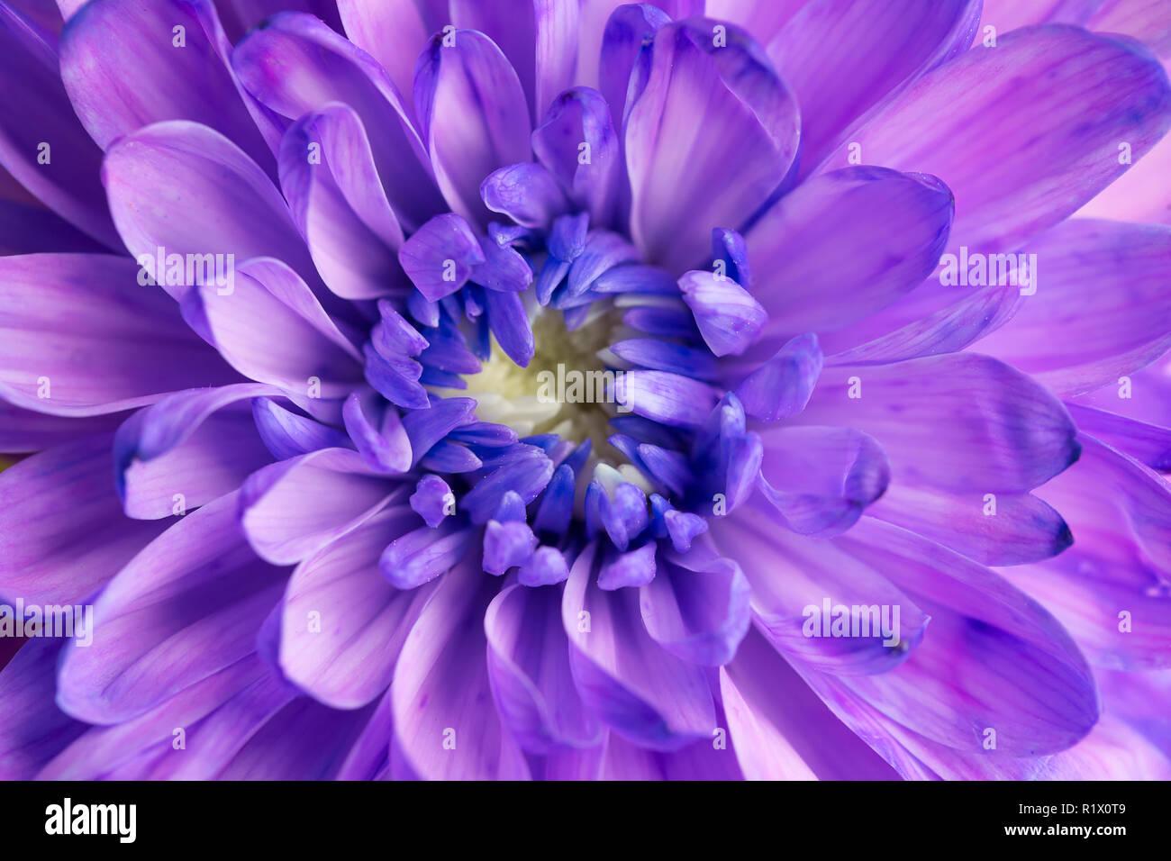 Crisantemo viola fiore closeup Foto Stock