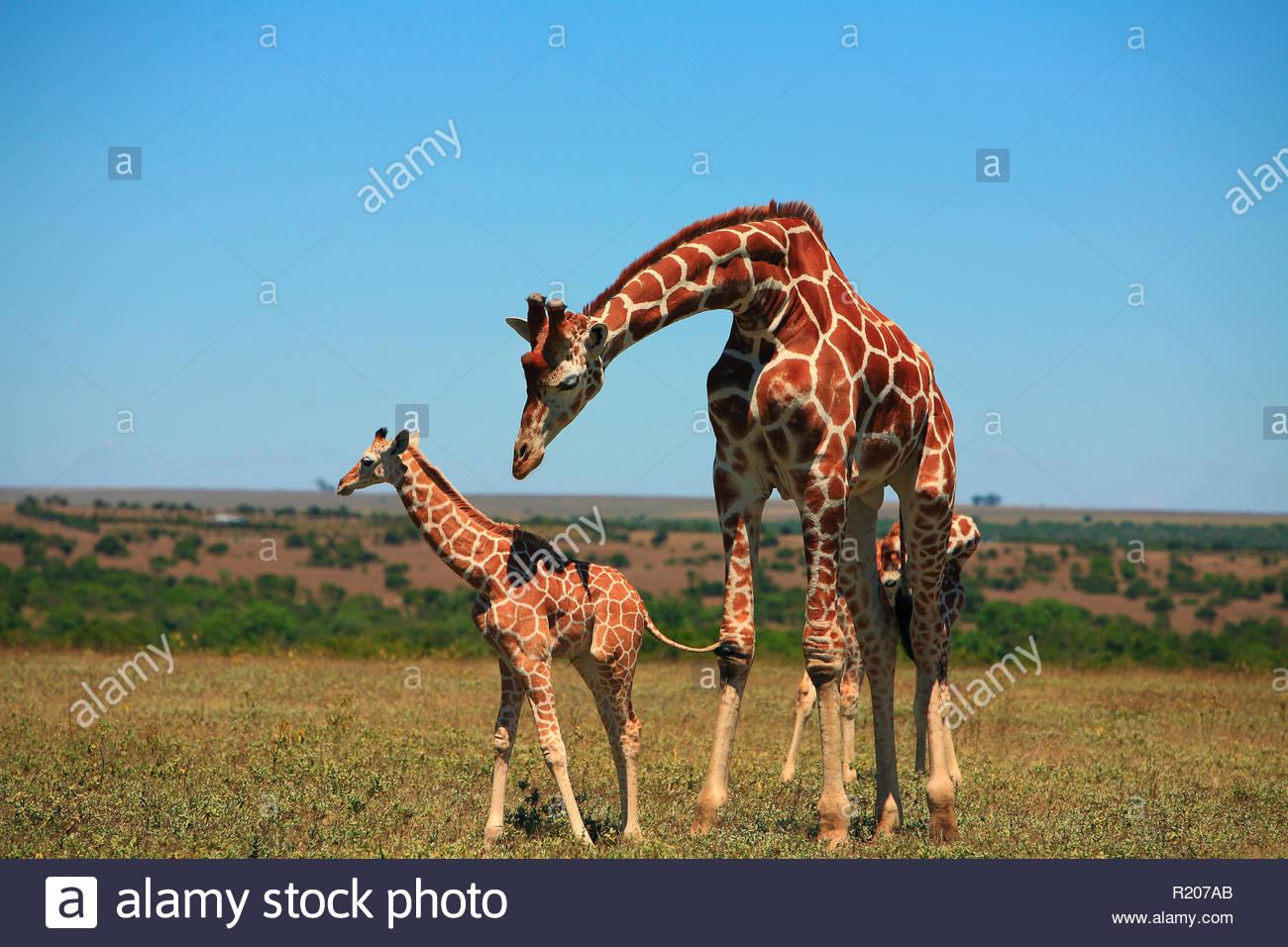 Giraffe (Giraffa camelopardalis) mit Jungtier, Regione di Mweiga, in Kenia, Afrika   Giraffe (Giraffa camelopardalis) con vitello, area di Mweiga, Kenya, Africa Immagini Stock