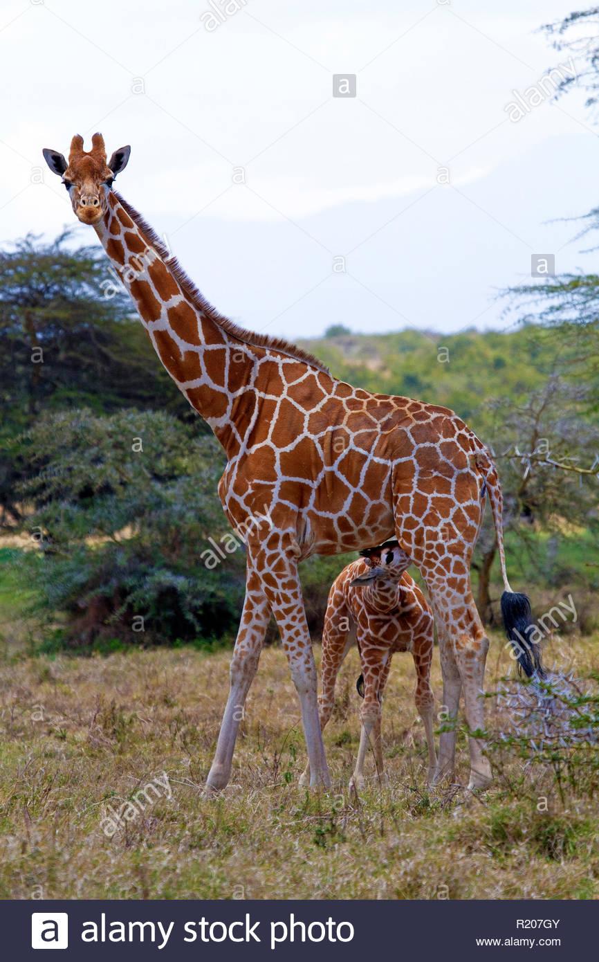 Giraffe (Giraffa camelopardalis) con vitello lattante, Samburu riserva nazionale, Kenya, Africa Immagini Stock