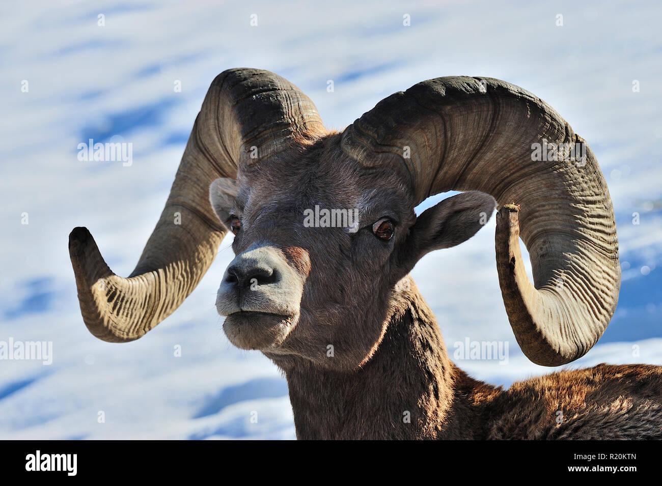 Un ritratto di un maschio di Rocky Mountain bighorn 'Ovis canadensis', nelle zone rurali di Alberta in Canada Immagini Stock