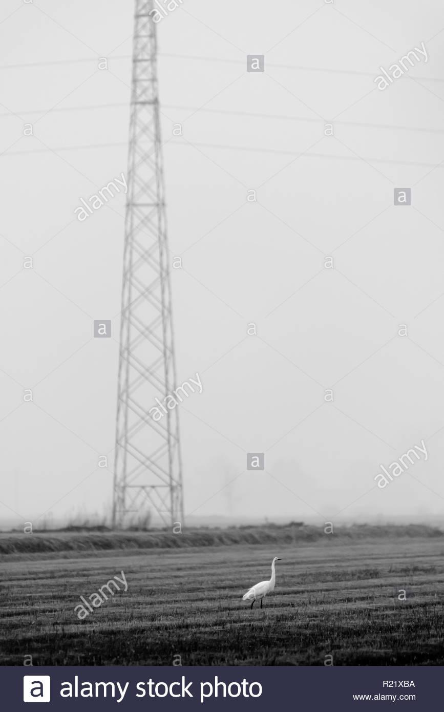 Heron in prossimità di una linea elettrica aerea Immagini Stock