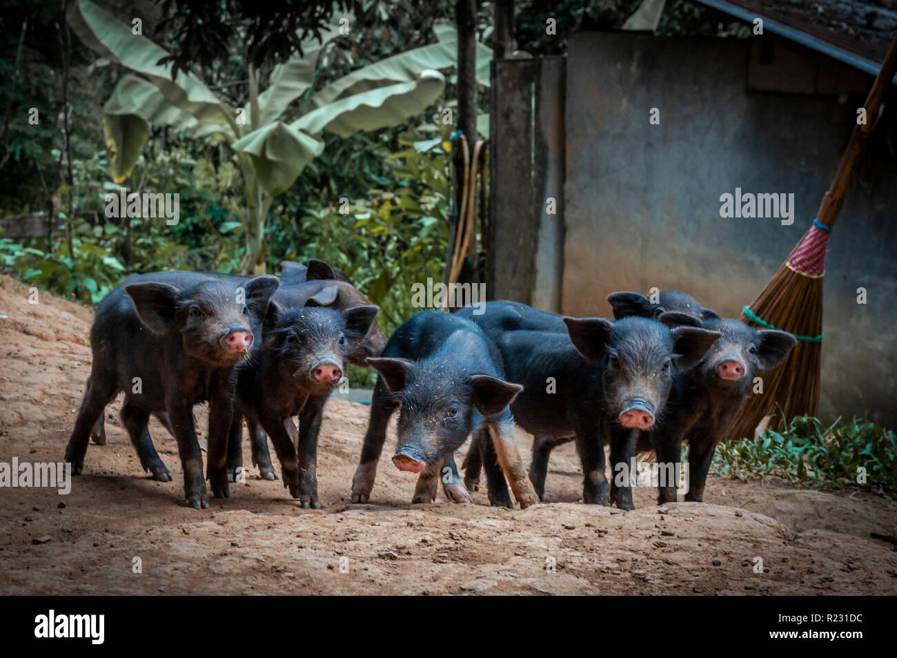 I suinetti aventi un giorno in una fattoria nel territorio del Nord di Chiang Mai Immagini Stock