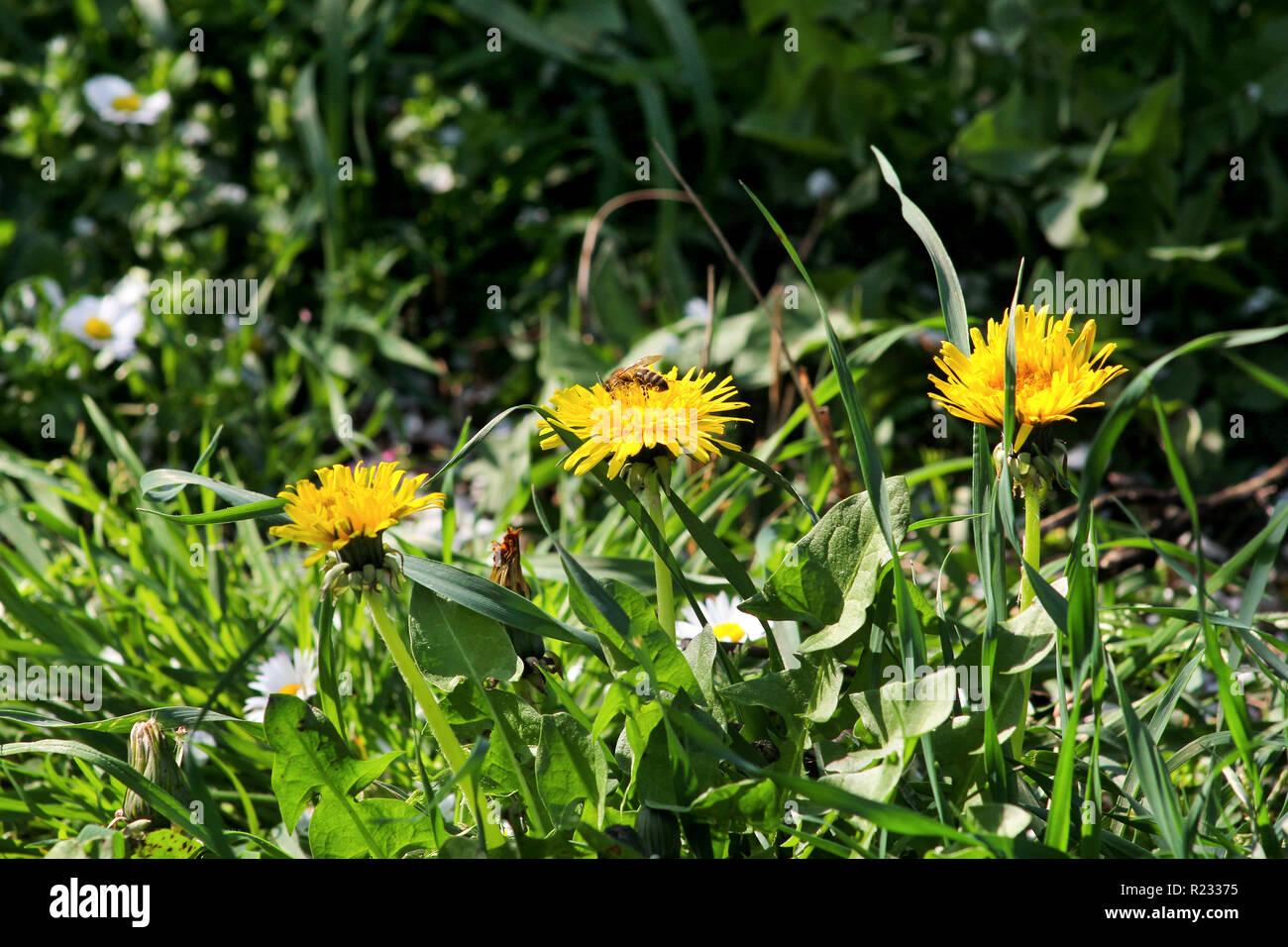 Fiori Gialli Tarassaco.Il Miele Delle Api Sul Fiore Di Tarassaco Blooming Stagione
