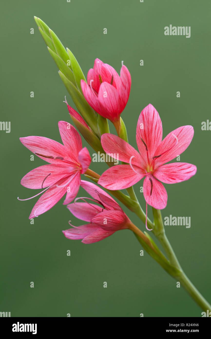 Onorevole Hegarty, Hesperantha coccinea, fiore Immagini Stock