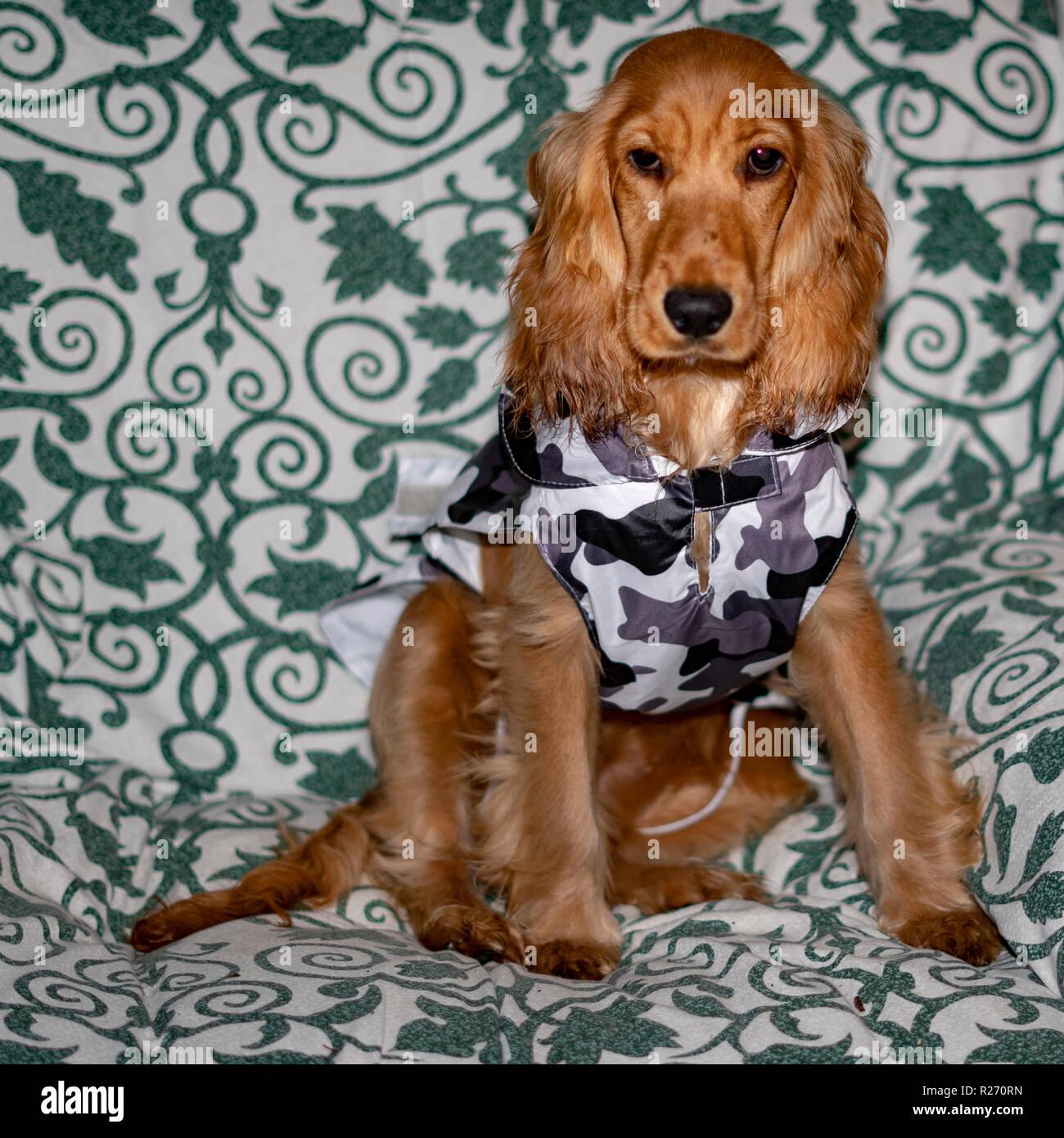 Adorabile Cucciolo Di Cane Cocker Spaniel Ritratto Con Militar