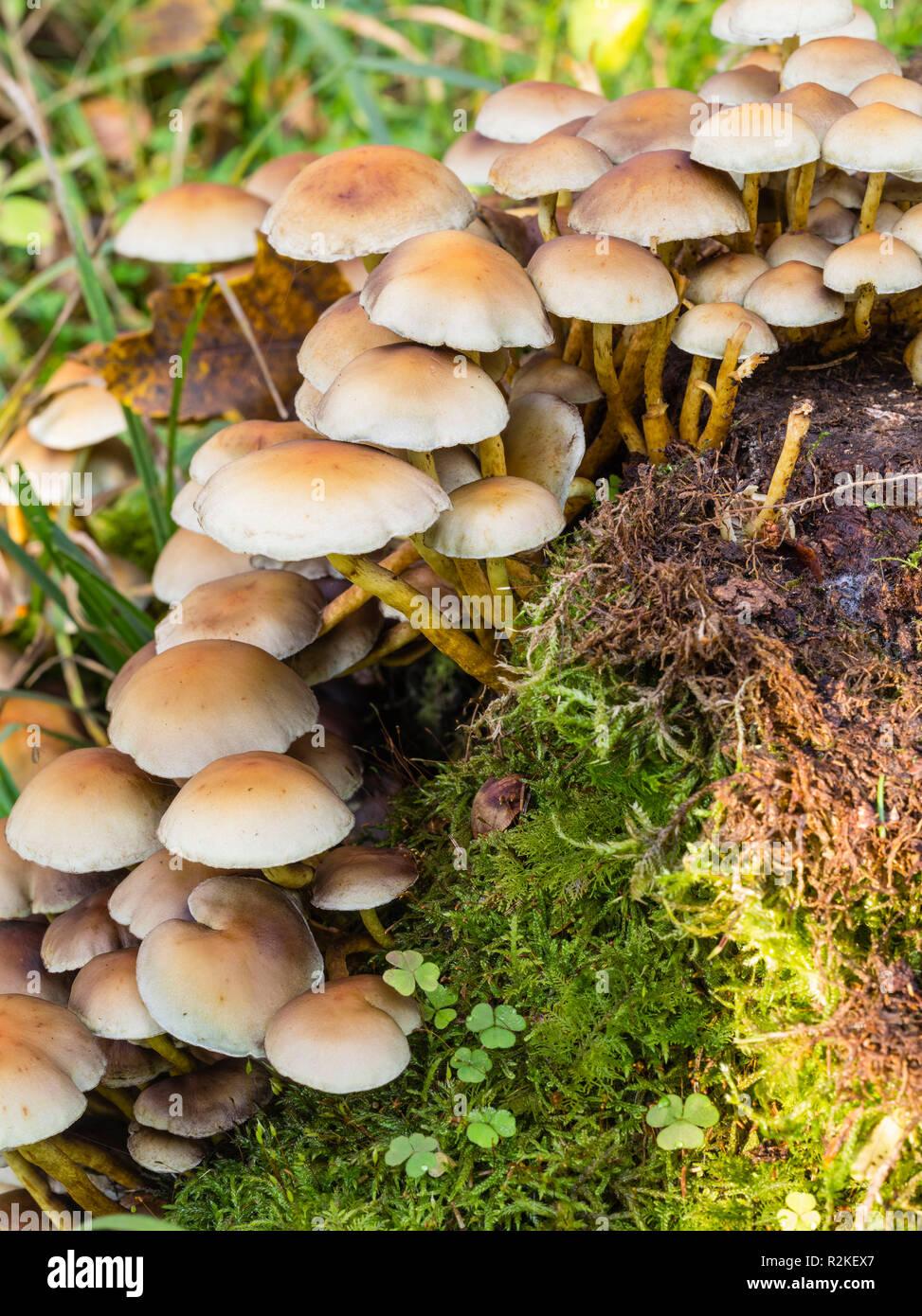 Due-tono woodtuft nella foresta Foto Stock