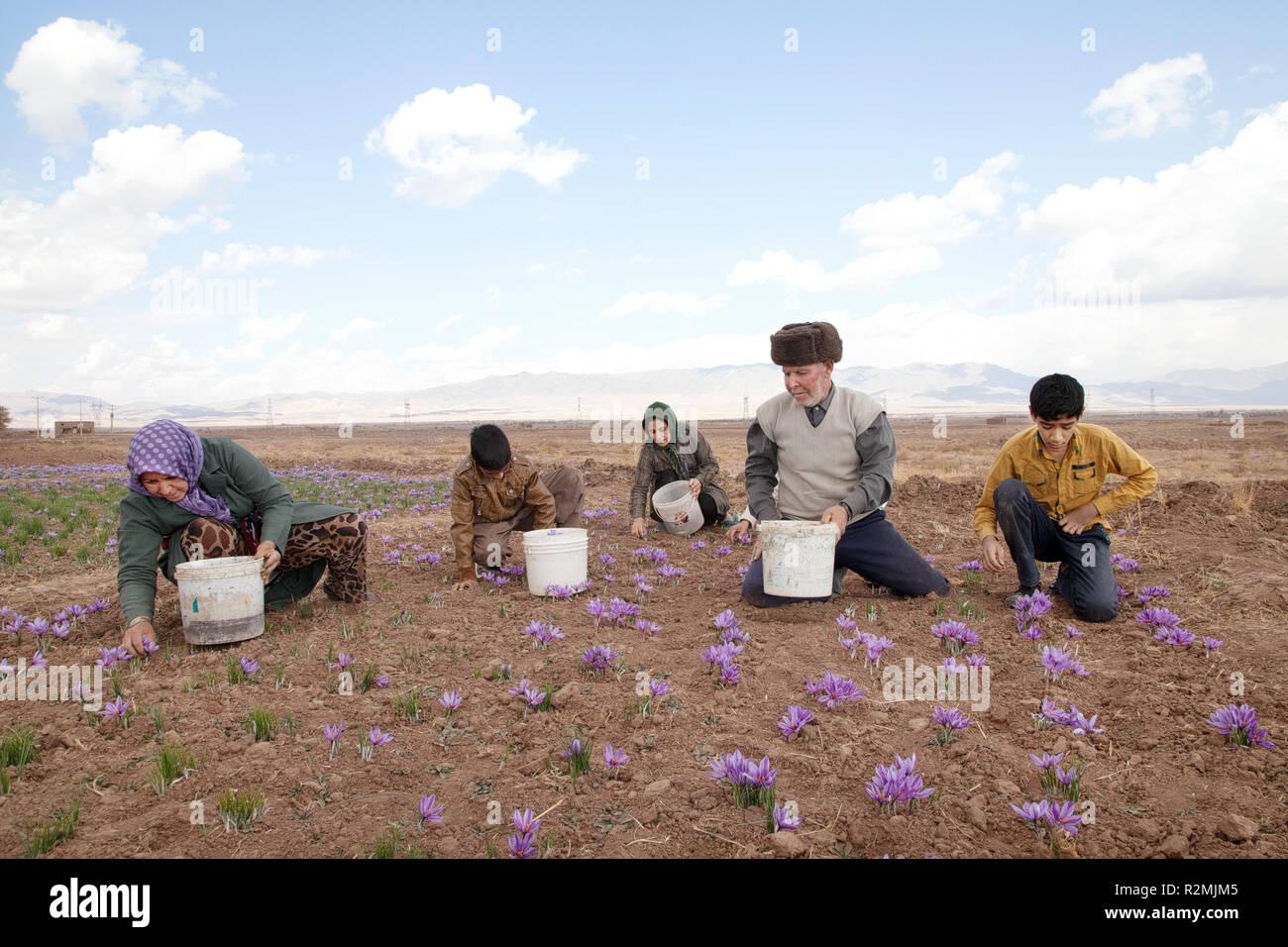 Una famiglia di Iraniani picks zafferano fiori di propria piantagione e la città di Torbat nella provincia di Khorasan è noto per le grandi piantagioni di zafferano Immagini Stock