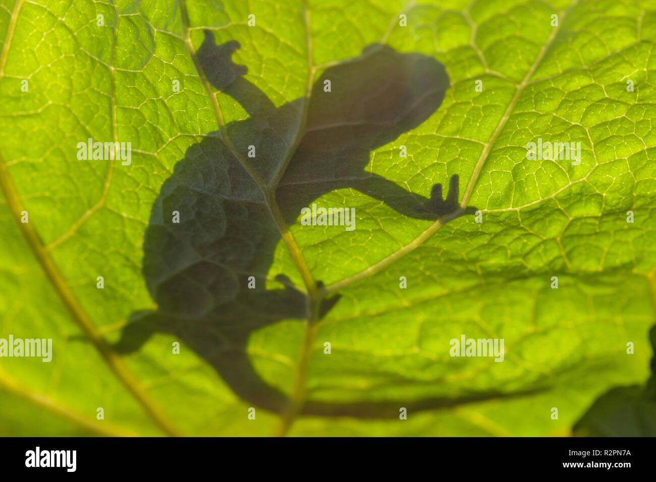 Salamandra pezzata, silhouette su una foglia, visto da sotto Immagini Stock
