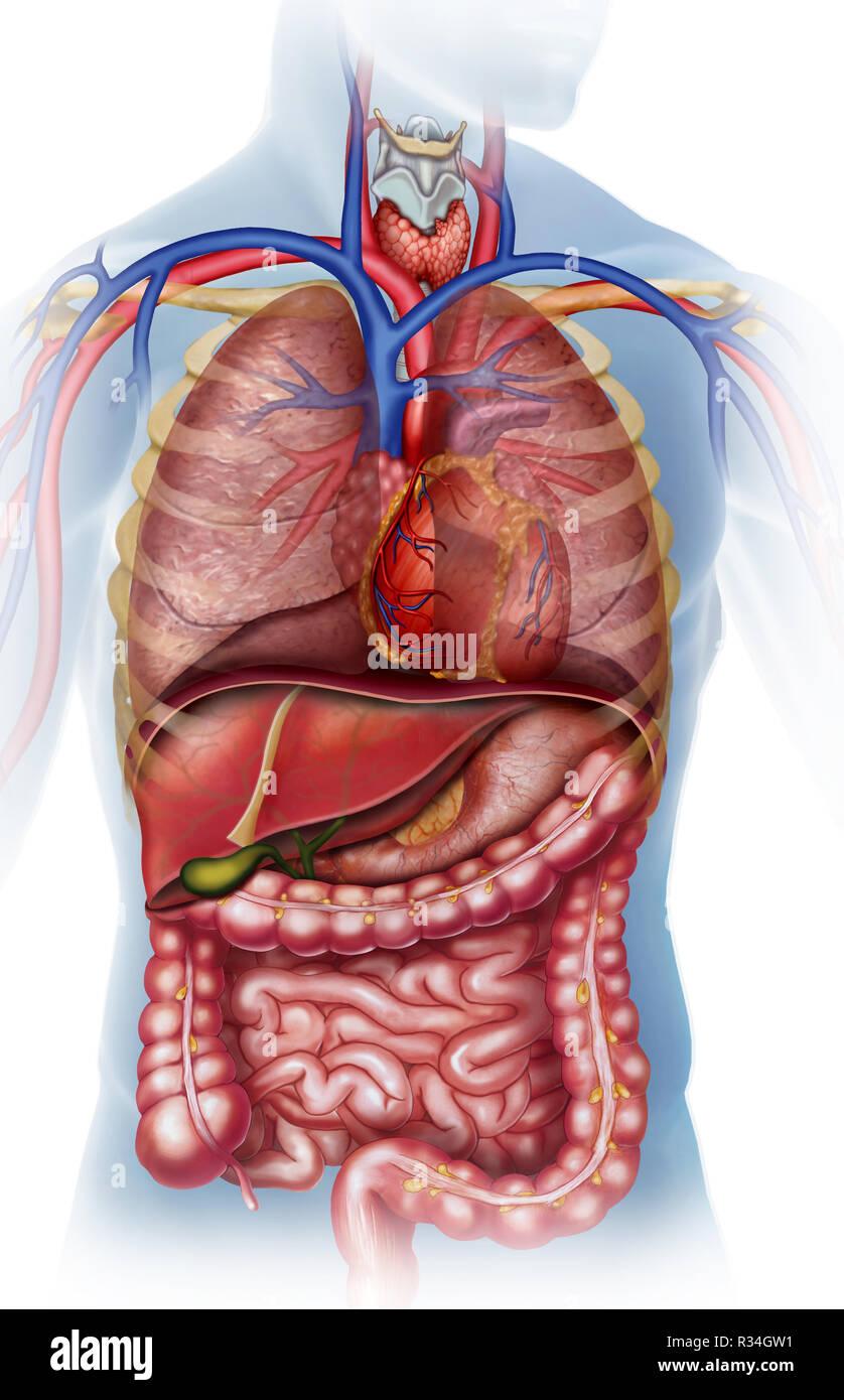 Anatomía y fisiología del cuerpo humano Immagini Stock