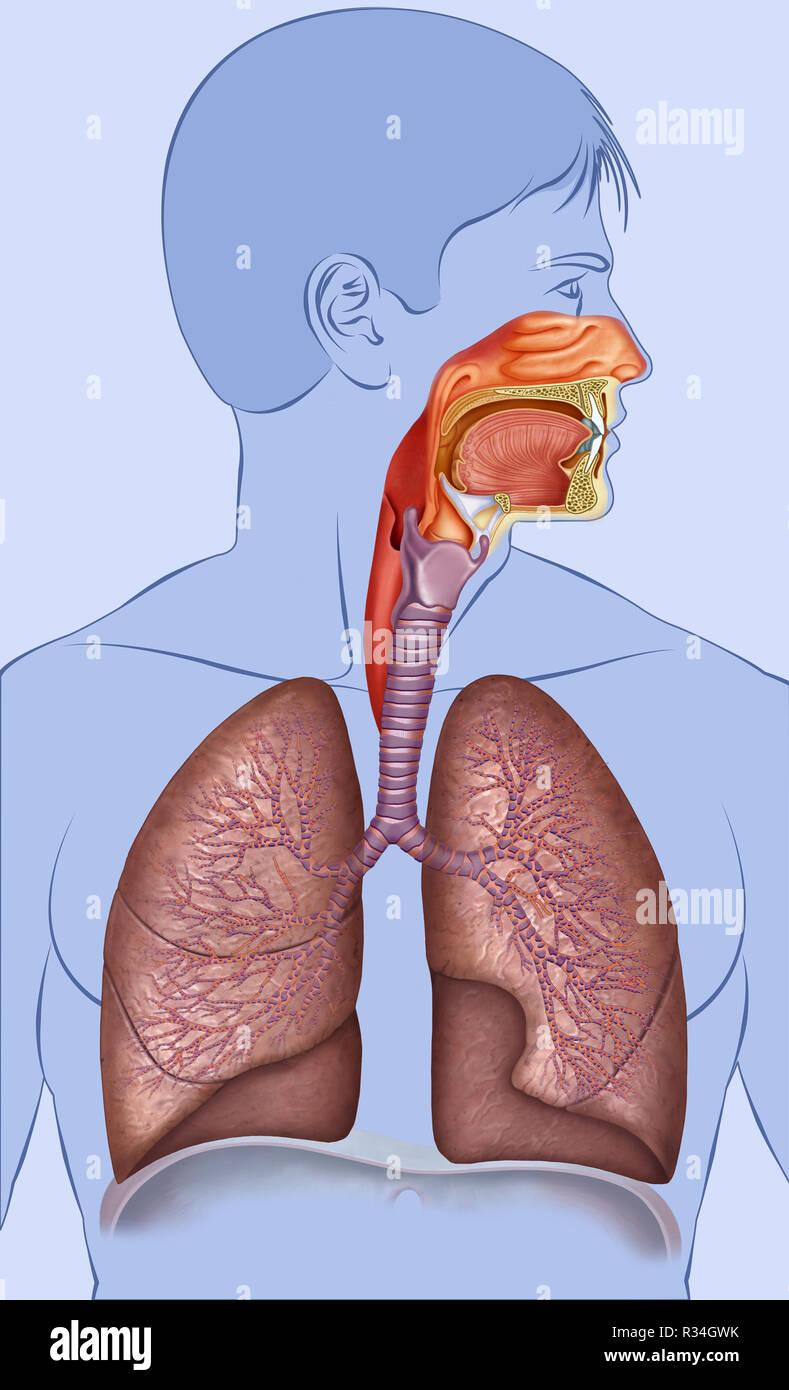 Il sistema respiratorio Immagini Stock