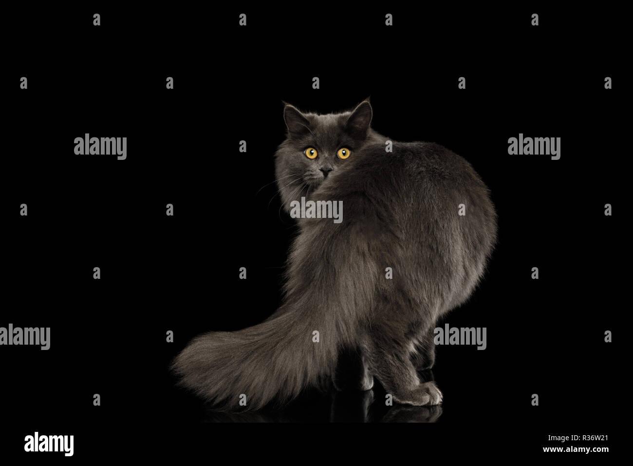 Grande nero peloso micio foto