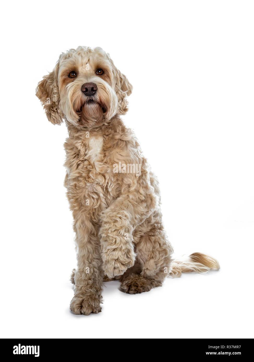 Titel: Dolce donna adulto golden Labradoodle dog sitter fino a bocca chiusa e una zampa sollevata, guardando con occhi marroni. Isolato su un retro bianco Immagini Stock