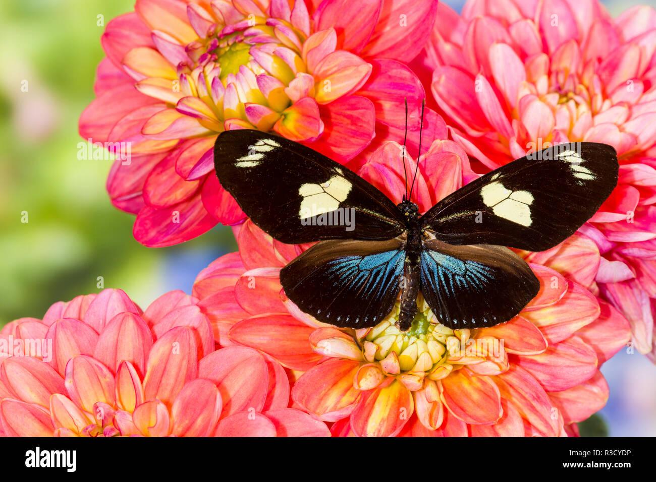 Farfalle tropicali Heliconius doris su Dalie Immagini Stock
