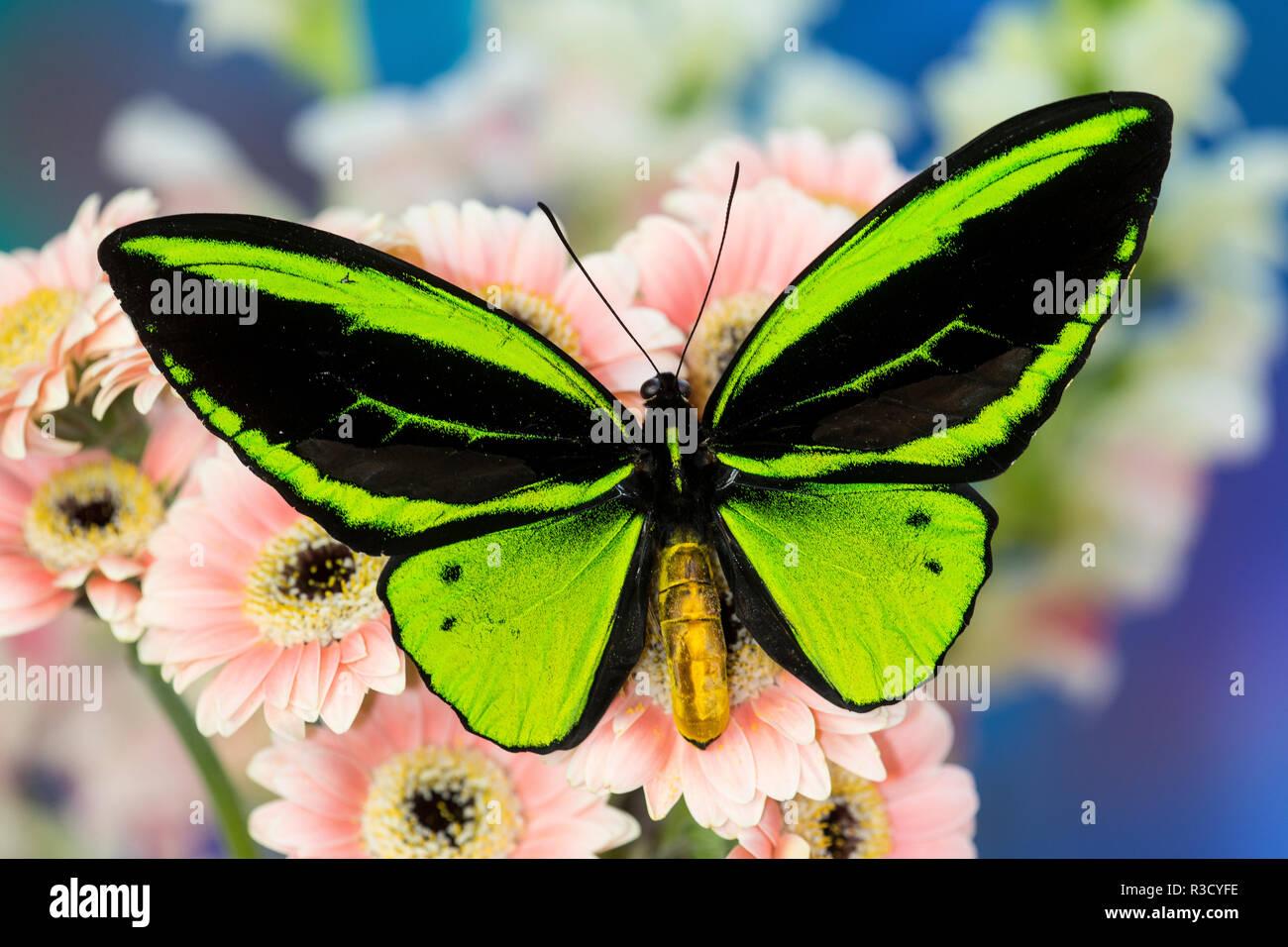 Maschio di farfalle tropicali Ornithoptera un Birdwing farfalla sulla Rosa Gerber Daisy Immagini Stock