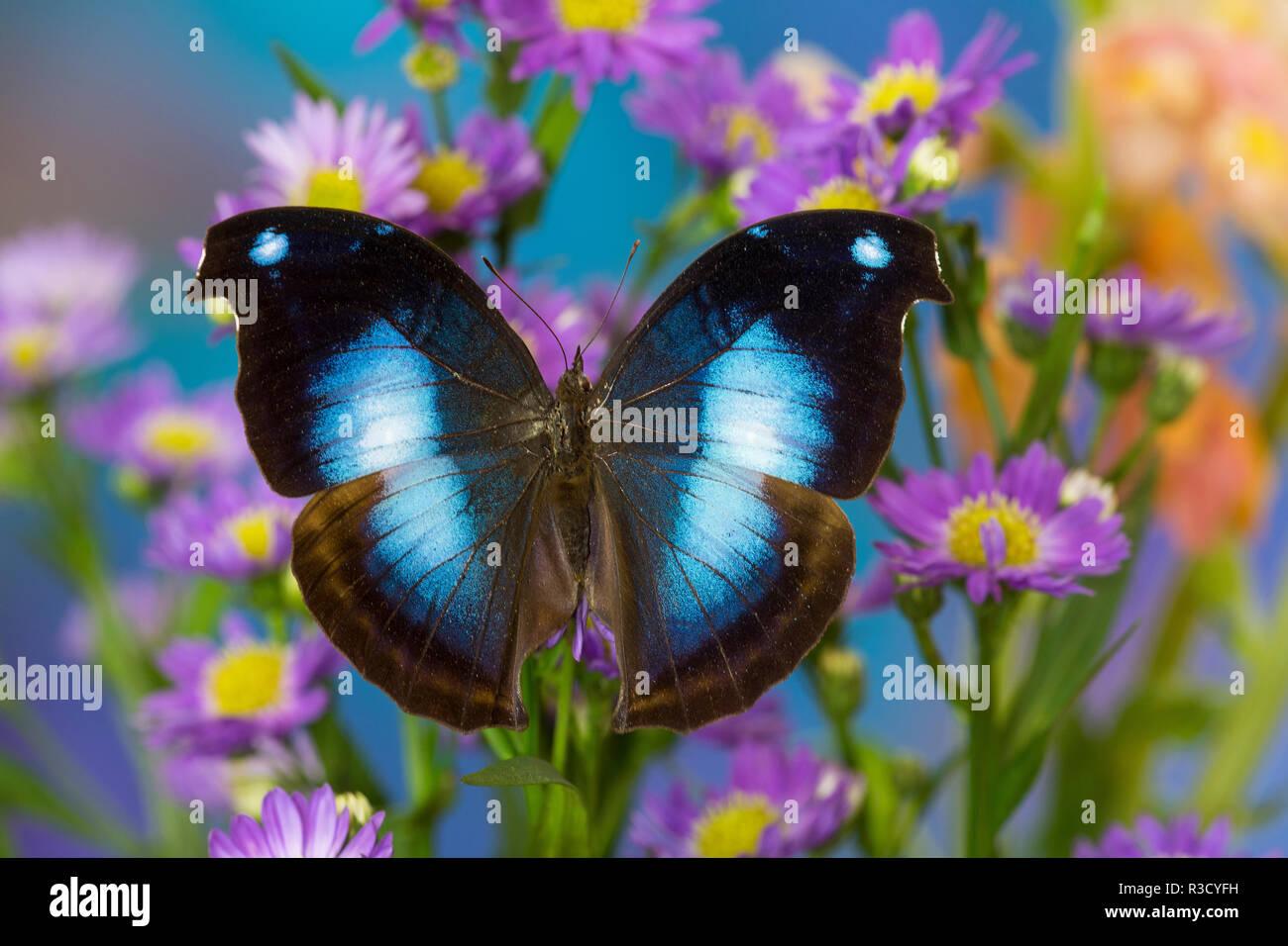 Farfalle tropicali jucunda Napeocles il grande blu su Hookwing Aster Immagini Stock