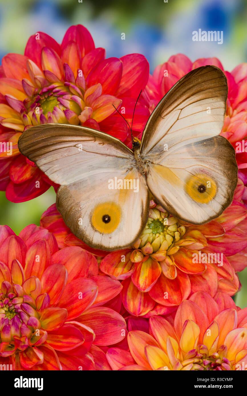 Farfalle tropicali macrops Taenaris su Dahlia fiori Immagini Stock