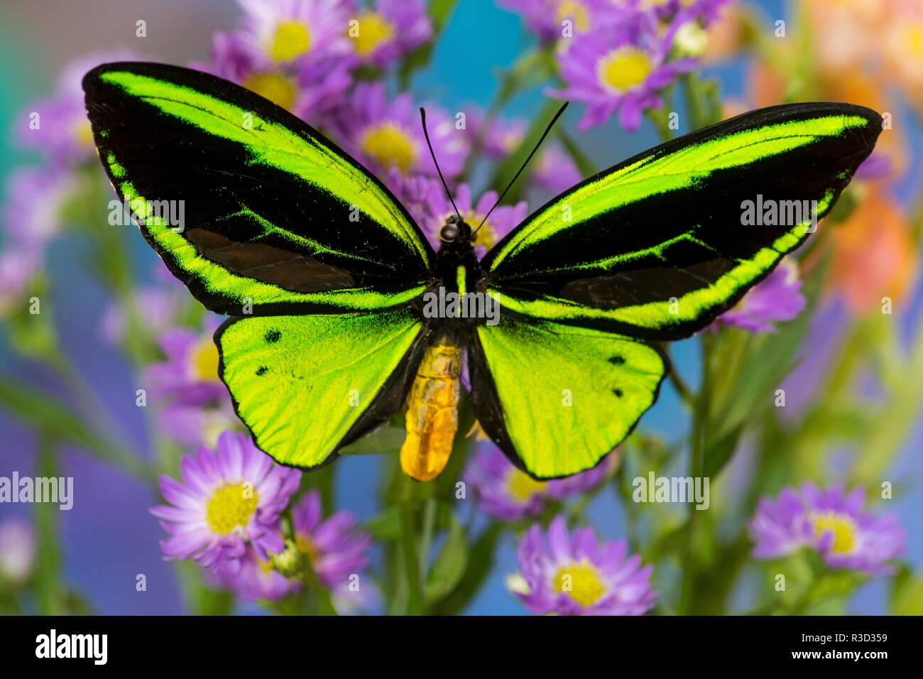 Maschio di farfalle tropicali Orthoptera priamus priamus Birdwinged una farfalla sulla aestri Immagini Stock