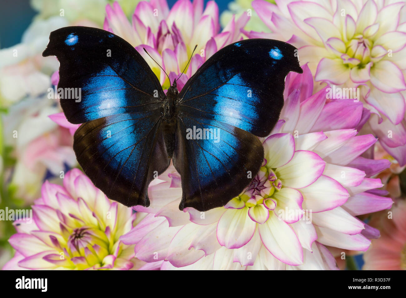 Farfalle tropicali jucunda Napeocles il grande blu su hookwing Dahlia Immagini Stock