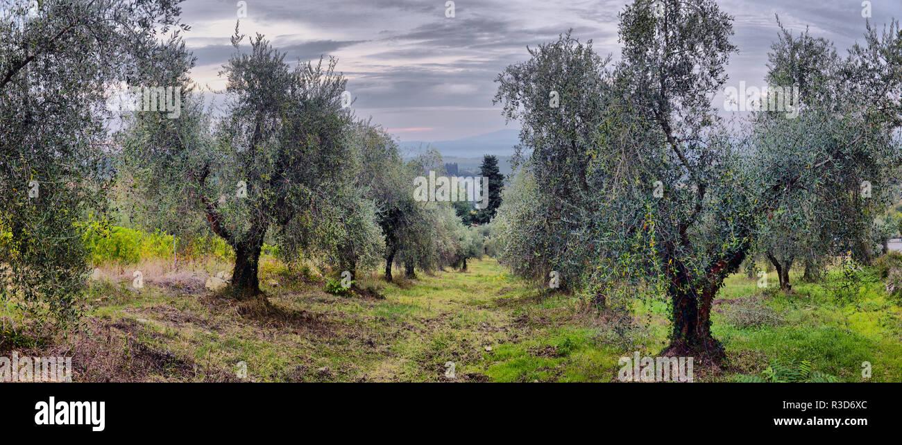 Giardino Con Alberi Di Ulivo Oliva Del Mediterraneo Campo