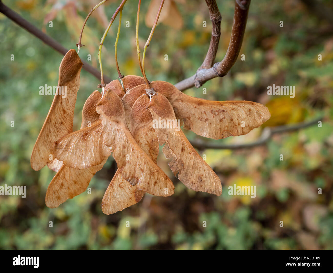 Noce alato frutto dell'acero montano - Acer pseudoplatanus - acero Foto Stock