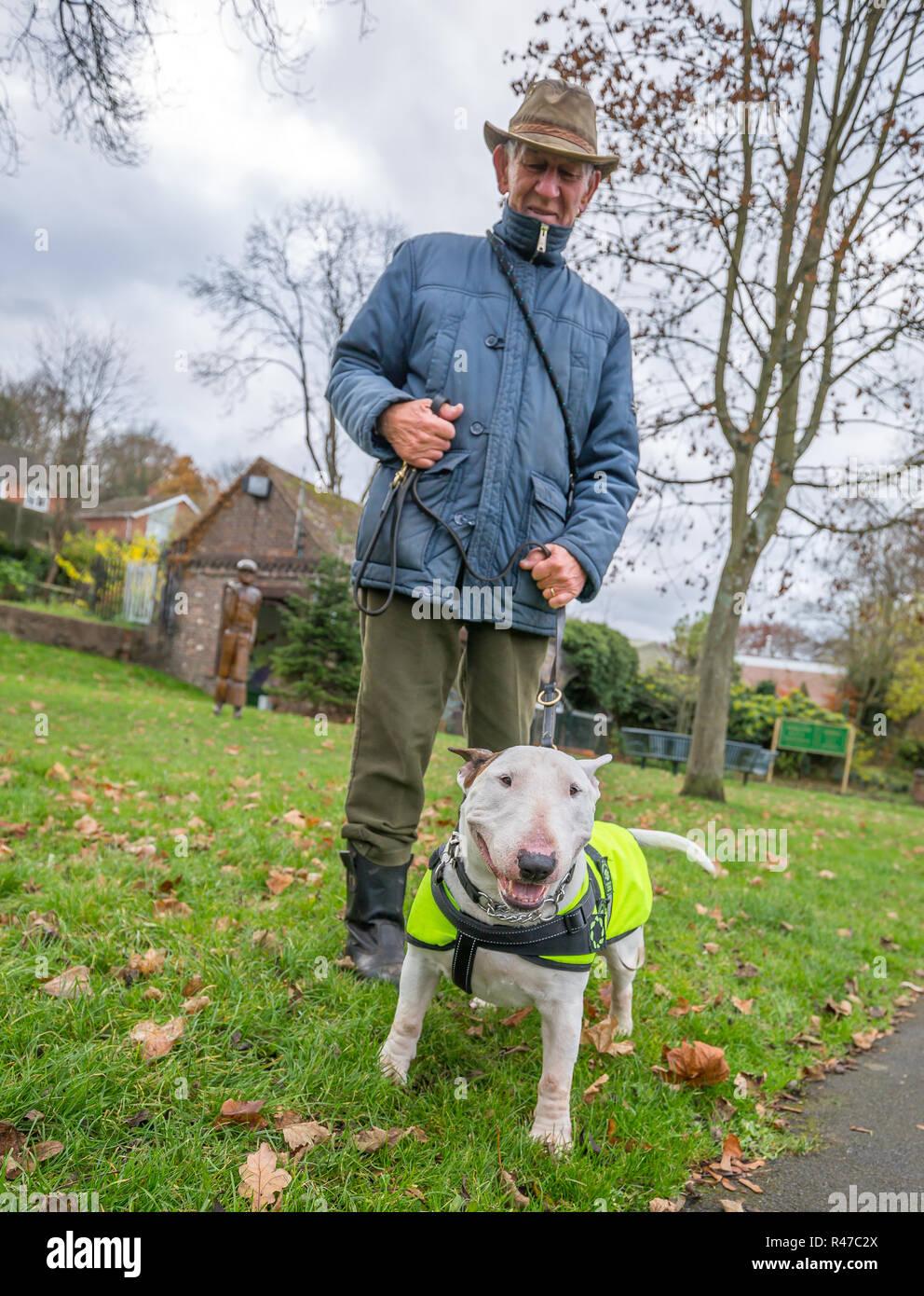 A basso angolo, vista frontale della lingua inglese Bull Terrier nel parco (autunno) indossare alta vis jacket, posa per fotocamera sul filo trattenuto dal maschio caucasico proprietario in hat. Immagini Stock