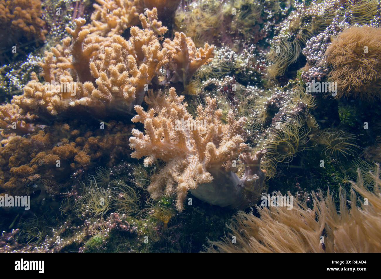 Bubbles Anemone Immagini Bubbles Anemone Fotos Stock Alamy