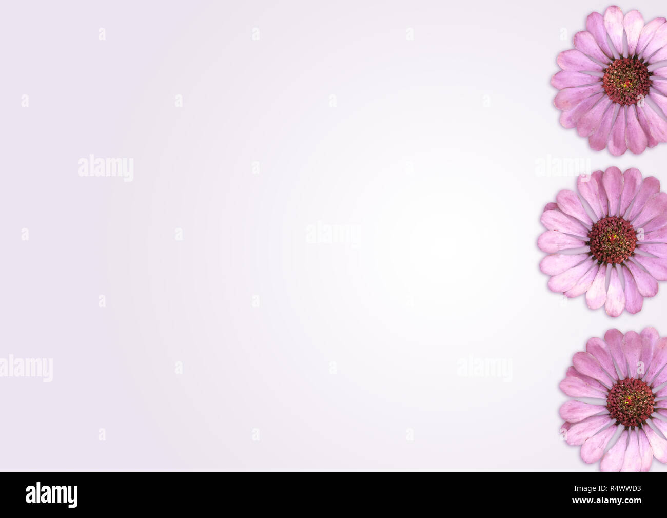 Fiori di colore rosa su sfondo chiaro, tabella vista superiore Immagini Stock