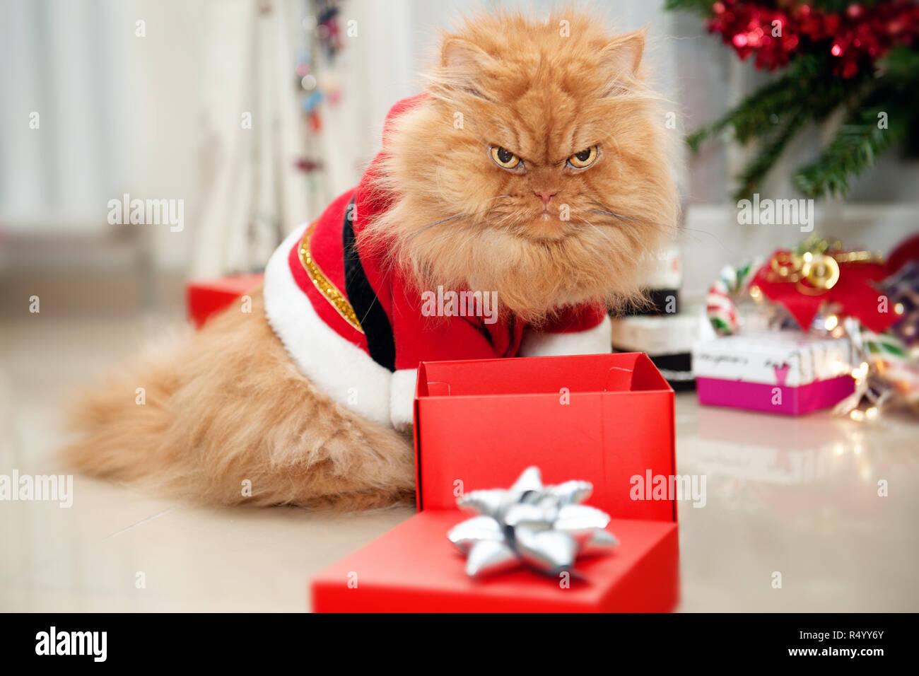 Arrabbiato Cercando Gatto Persiano Indossando Il Vestito Di Natale