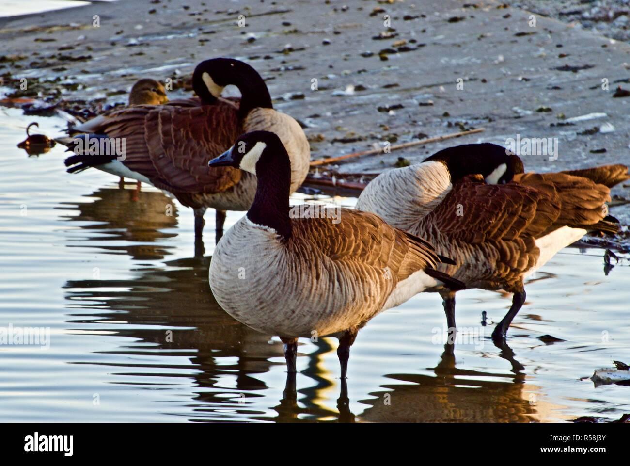 Oche del Canada in appoggio su Lindsey pubblico Parco Lago di pesca, Canyon, Texas. Immagini Stock