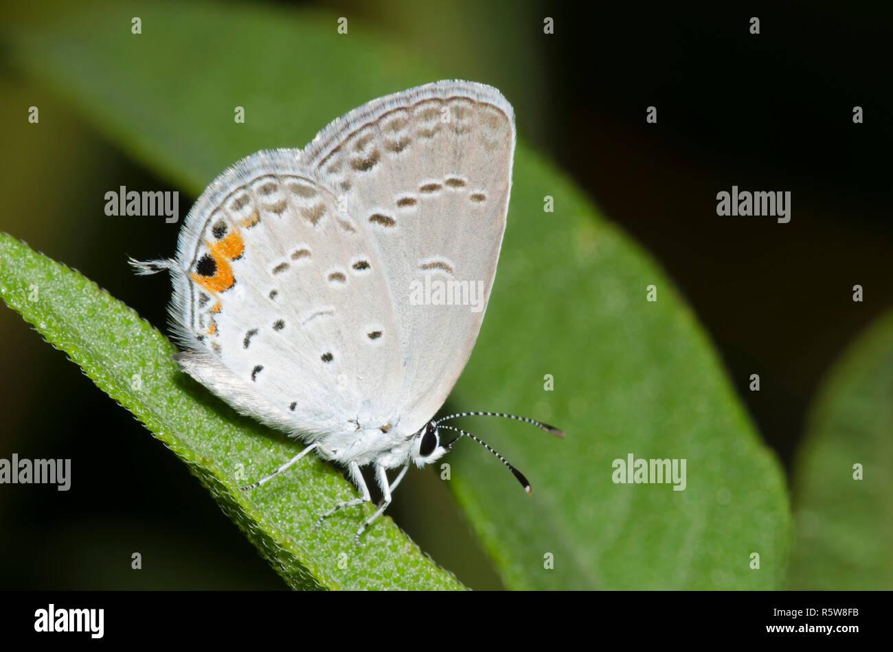 Codato orientale-blu, Cupido comyntas Foto Stock
