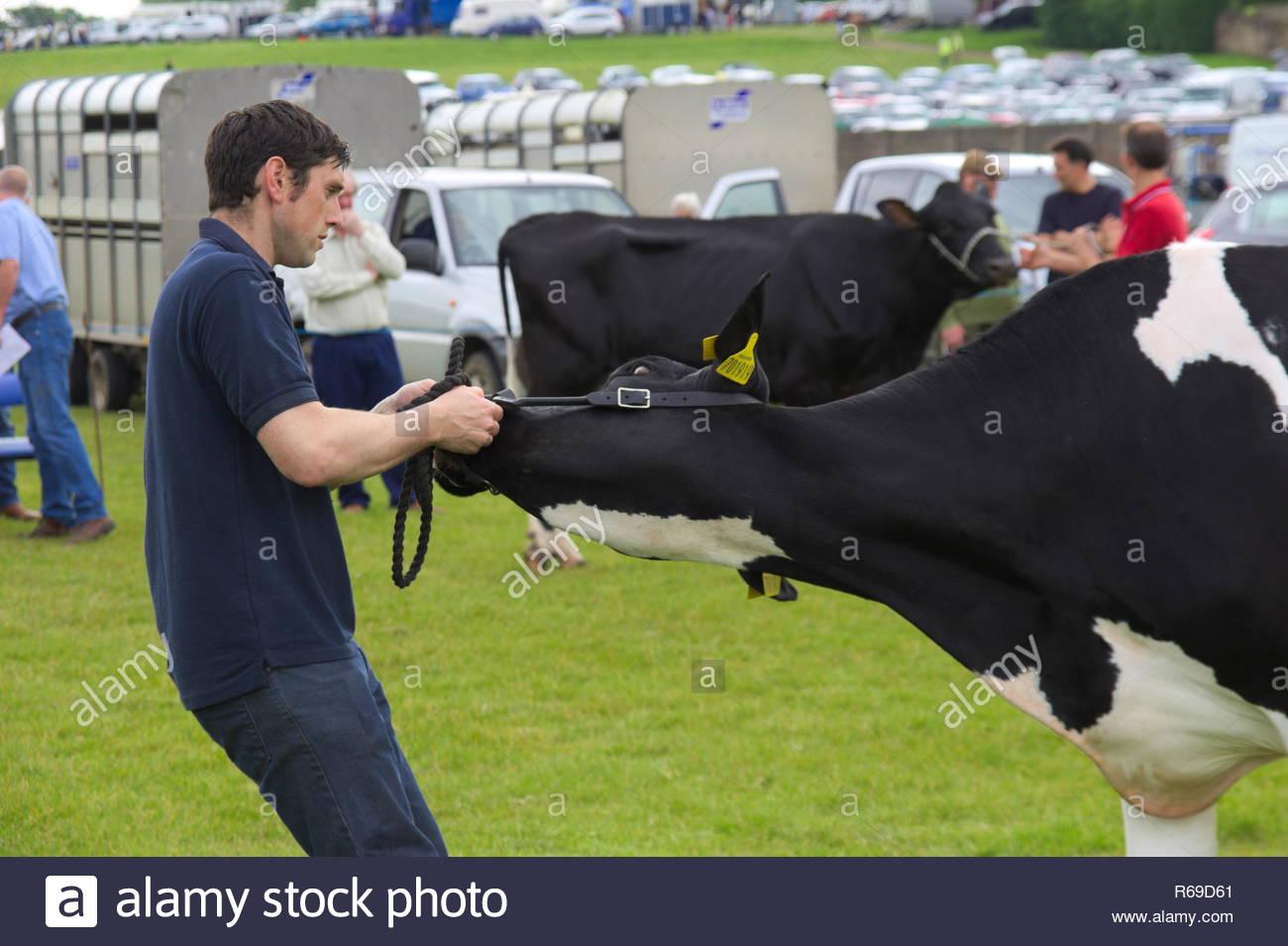 cea9f43a7f L agricoltore maschio cercando di ottenere una vacca a muoversi alla East  Kilbride bovini aperto