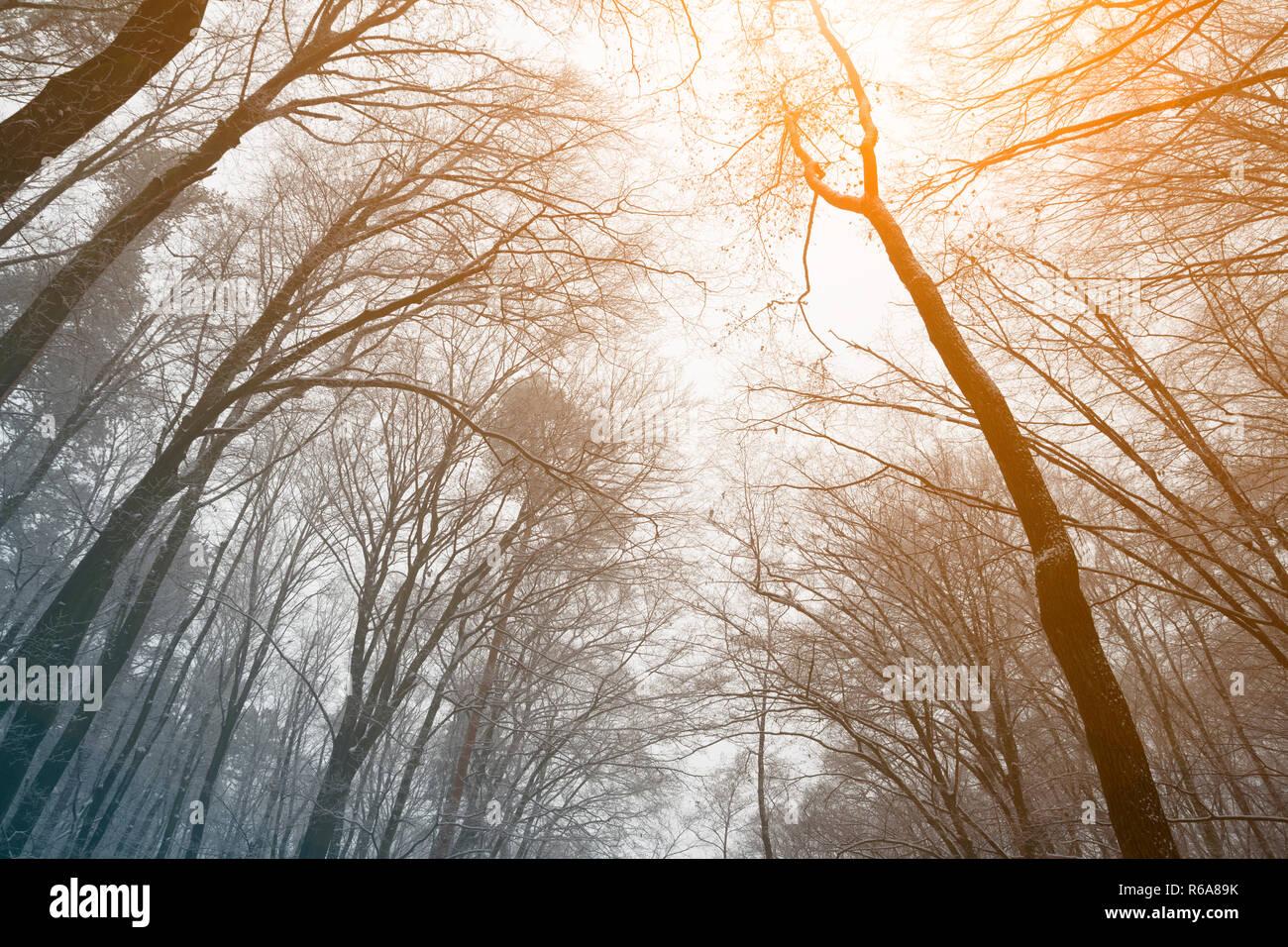 Treetops sfrondato in inverno il tramonto. basso angolo di visione Immagini Stock