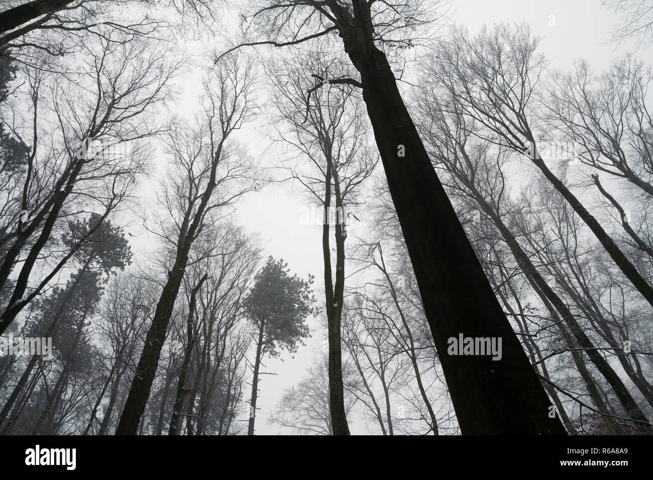 Sfrondato bosco di latifoglie treetops in inverno. silhouette di alberi nella foresta. basso angolo di visione Immagini Stock