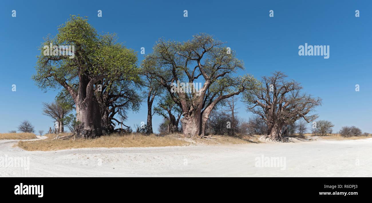 Baines baobab da Nxai Pan National Park, il Botswana. Immagini Stock