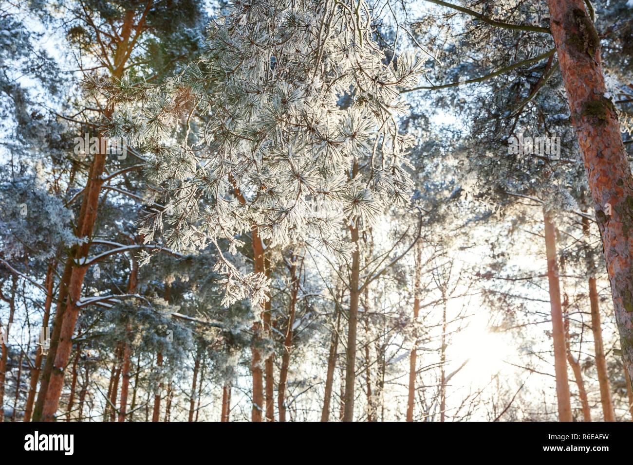 Frosty alberi in boschi innevati, freddo nella mattina di sole. Tranquilla natura invernale in presenza di luce solare. Di ispirazione naturale invernale parco o giardino. Raffreddare pacifica ecologia natura sullo sfondo del paesaggio Foto Stock