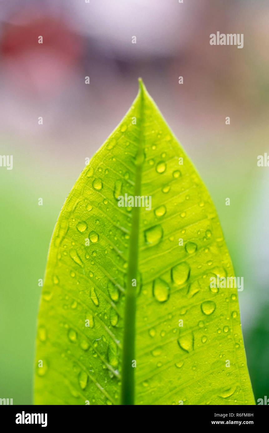 Concetto, gocce di pioggia sulla foglia, India Immagini Stock