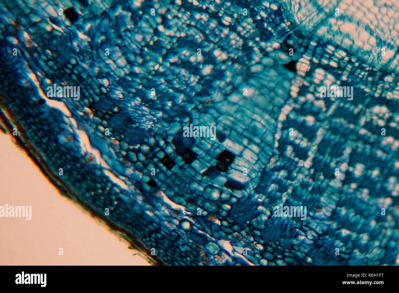 Cellula di un organismo vivente nel microscopio Immagini Stock