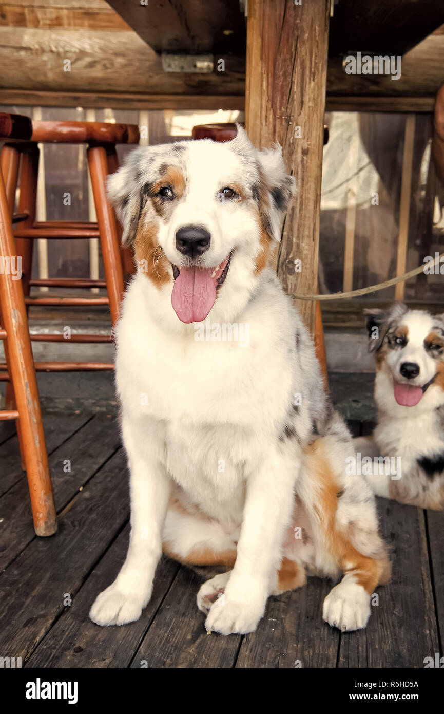 Empatia e il concetto di assistenza. I cani in appoggio su pavimento di legno di Key West, STATI UNITI D'AMERICA. Cuccioli con bianco, marrone e nero capelli sotto la tabella. Animali domestici e animali domestici. Amici e amicizia. Immagini Stock