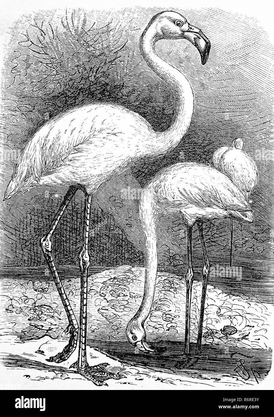 Digital riproduzione migliorata, fenicottero maggiore, großer fenicottero rosa Phoenicopterus roseus, stampa originale del XIX secolo Immagini Stock
