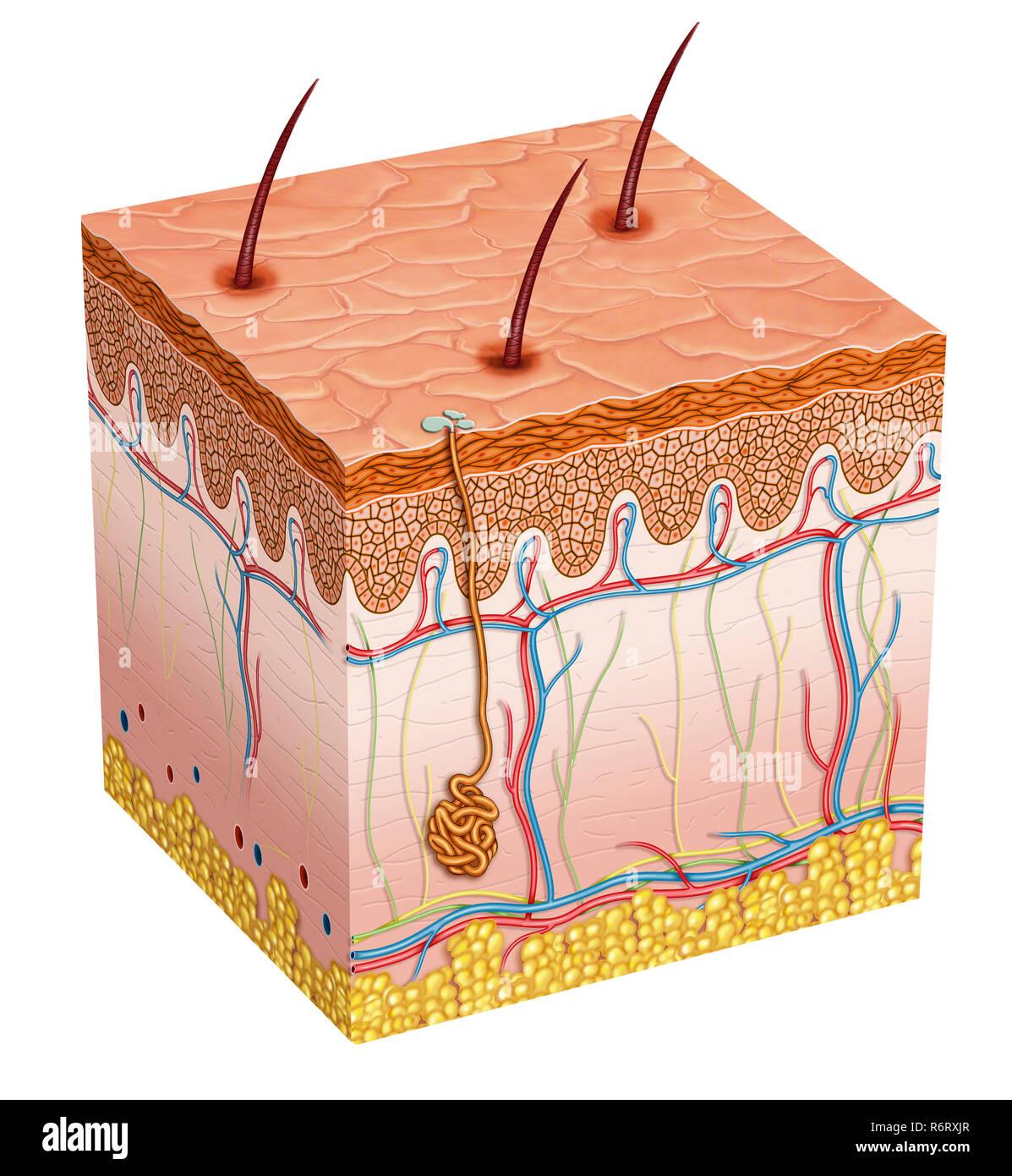 Anatomia della pelle umana Immagini Stock