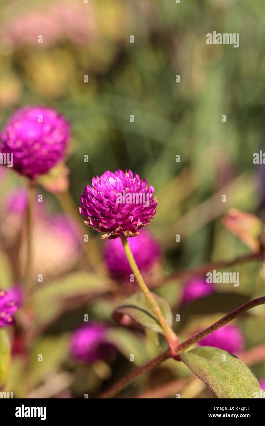 Gomphrena globosa viola fiore sboccia Immagini Stock