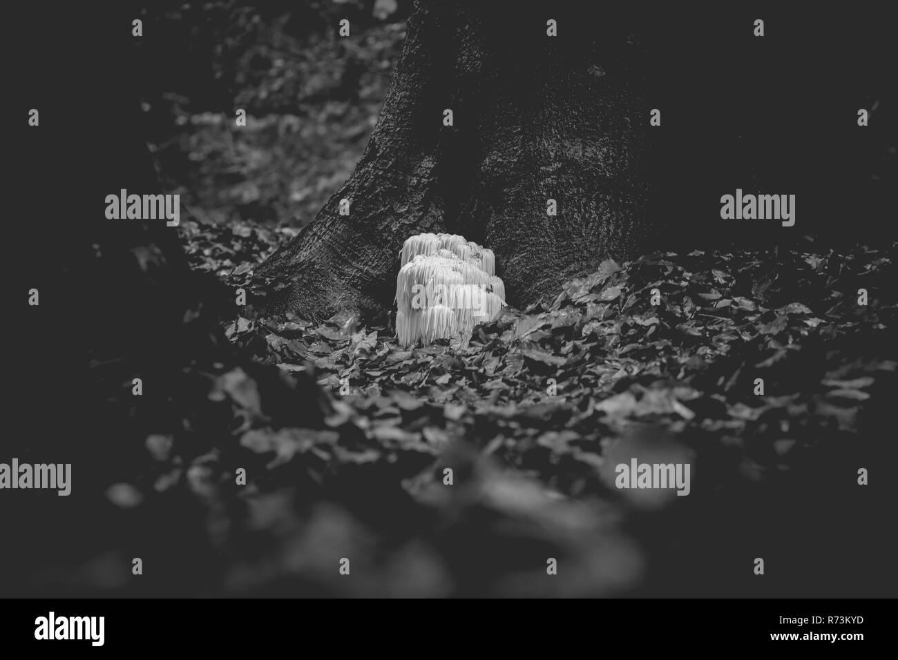 Il raro leone commestibili del fungo Mane / Hericium Erinaceus / pruikzwam nella foresta. Splendidamente radioso e colpisce con il suo colore bianco tra aut Immagini Stock