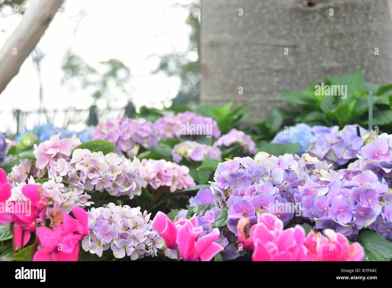 Bella viola i fiori delle ortensie in giardino Foto Stock