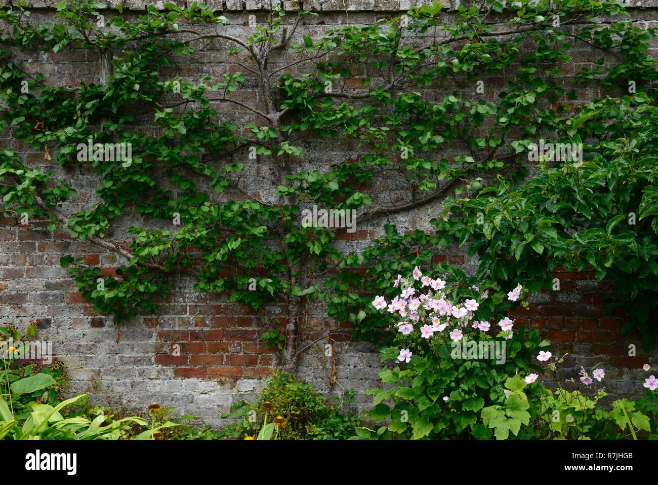 Spalliera,espaliered,melo,cucina giardino,giardino murato,supporto ...