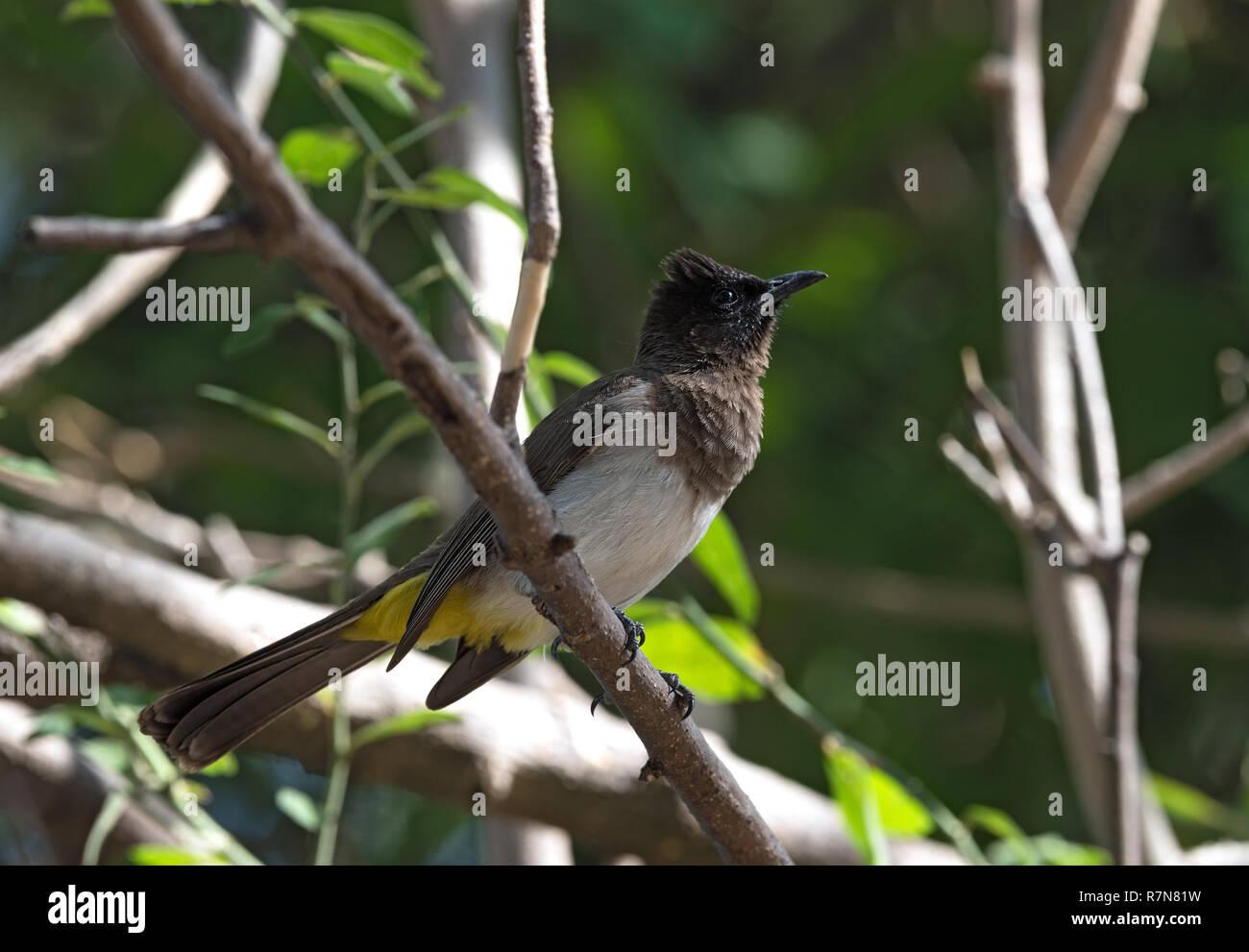Un buio capped bulbul siede su un ramo di albero, Botswana Immagini Stock