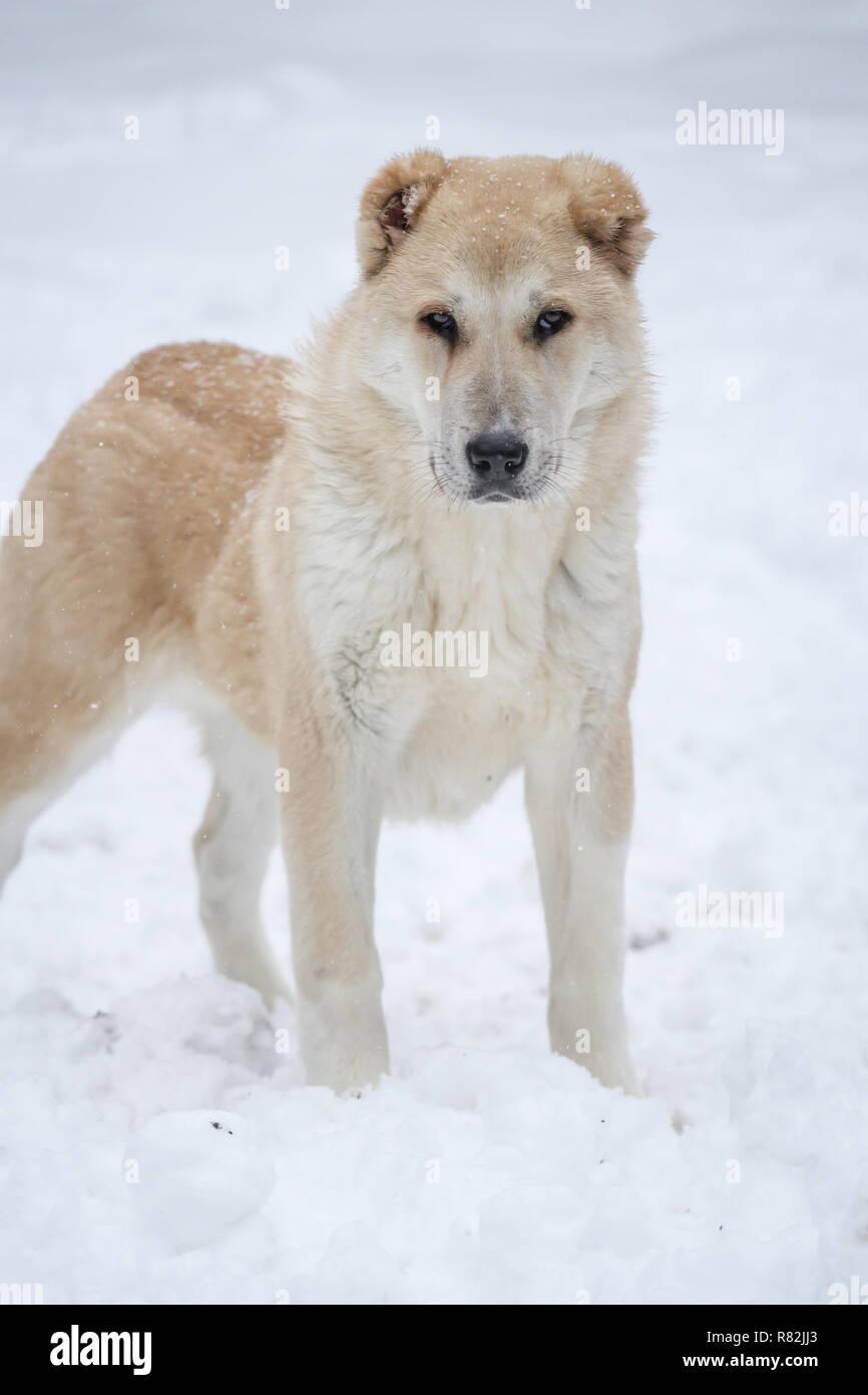 In Asia Centrale Il Cane Pastore Cucciolo Femmina 6 Mesi Di Età